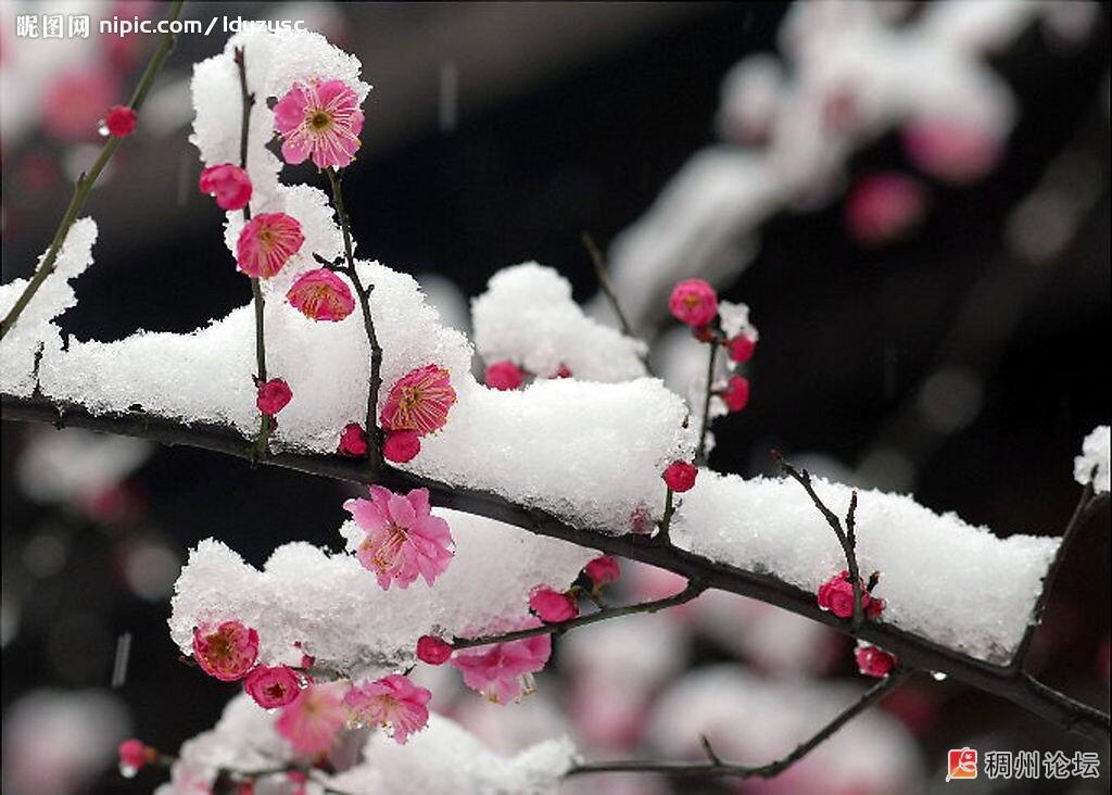 风中落叶雪中腊梅 Powered by CNYW.NET图片