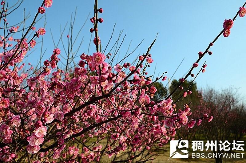 2016.2.15  摄于江滨梅花林