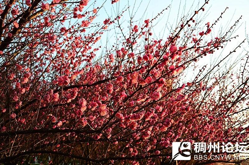 2017.2.3  摄于江滨梅花林