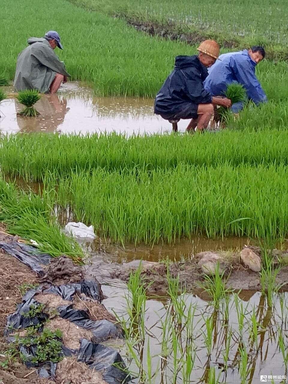 下雨种田!咱农民的本性永远都不会改变的事实.