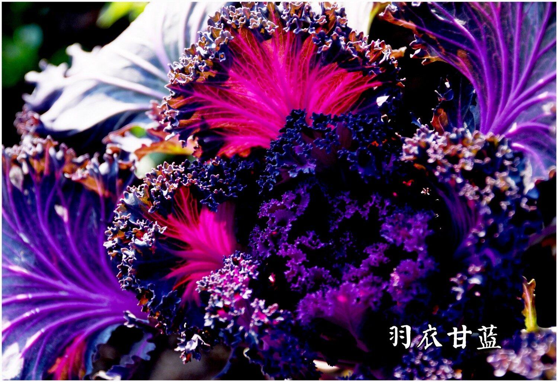 DSC_5614羽衣甘蓝2.jpg 1.jpg