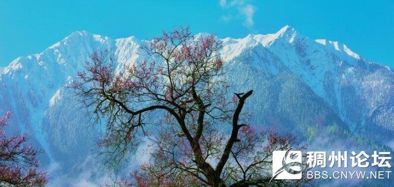 林芝雪山下的桃花.jpg