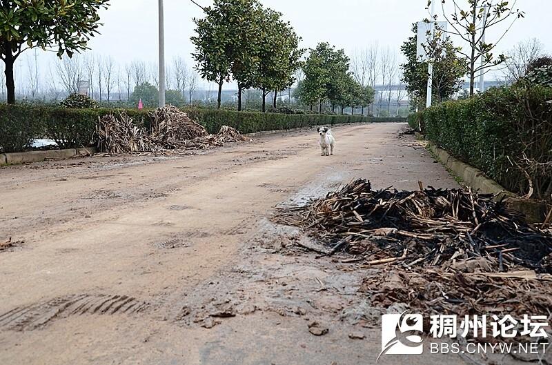 吴畈线进入西楼村的道路上,有糖梗废弃物堆放和焚烧痕迹