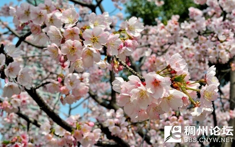 樱花2.jpg