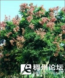 栾树1.jpg