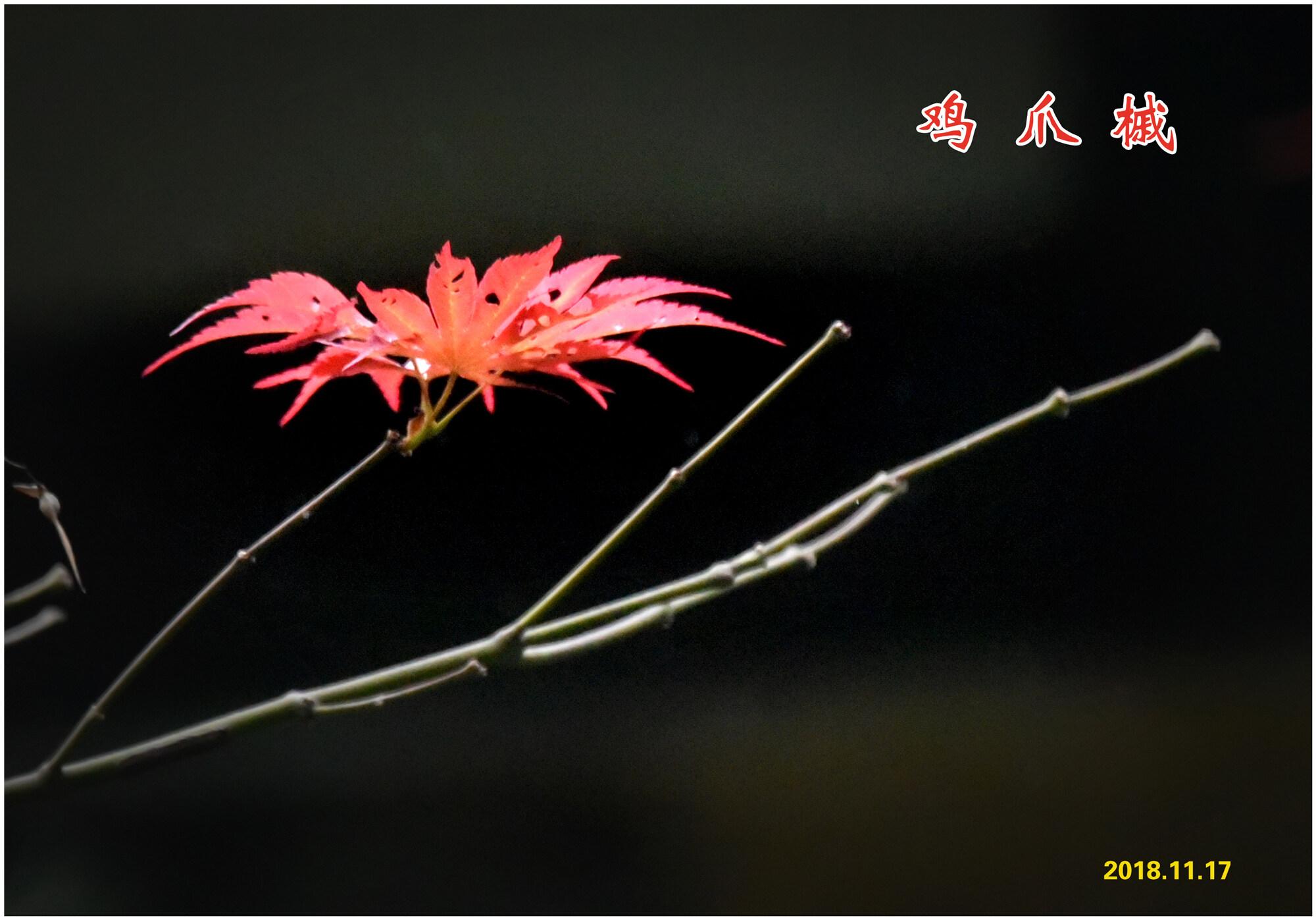 DSC_4637鸡爪槭 2.jpg