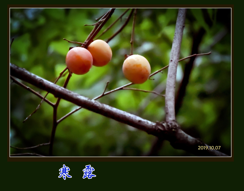 DSC_8353寒露2.jpg